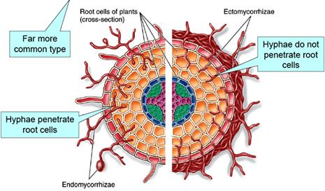 Endomycorrhizae and  Ectomycorrhizae