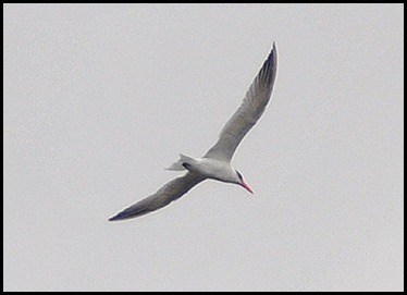 05d - Nine Mile Pond for Lunch -  Caspian Tern