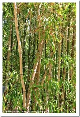 150325_SDBG_0083_Guadua-angustifolia