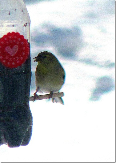 finch at feeder