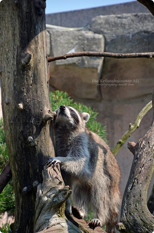 Wremen 29.07.14 Zoo am Meer Bremerhaven 55 Waschbären