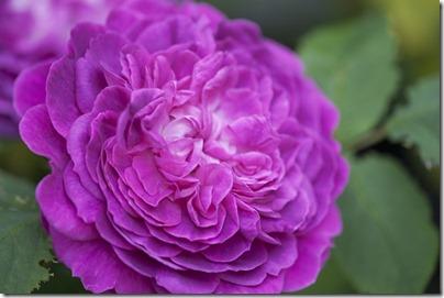 Centifolia Rose01