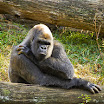 Zoo Atlanta Gorilla