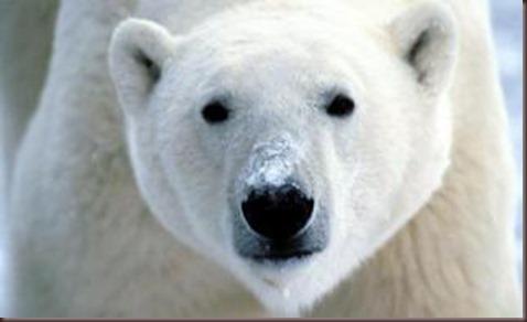 Amazing Animals Pictures Polic Bear (1)