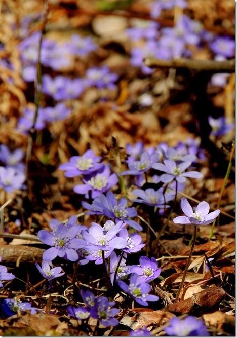 violett 1