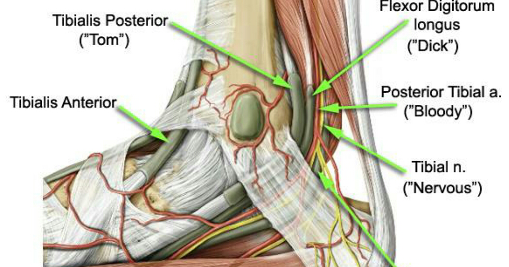 Anatomy Sms Tarsal Tunnelflexor Retinaculum Foot