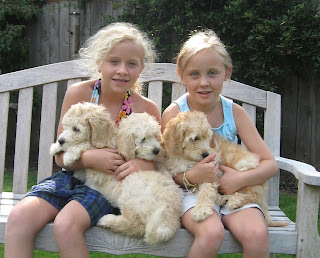 Labradoodle Puppies are lovable family dogs.