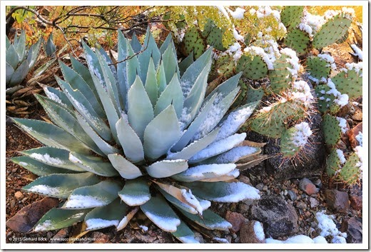 150101_ASDM_0068_Agave-parry-huachucensis