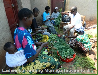 Harvesting Moringa Leaves