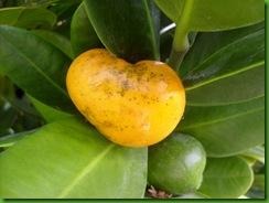 Garcinia spicata (1)