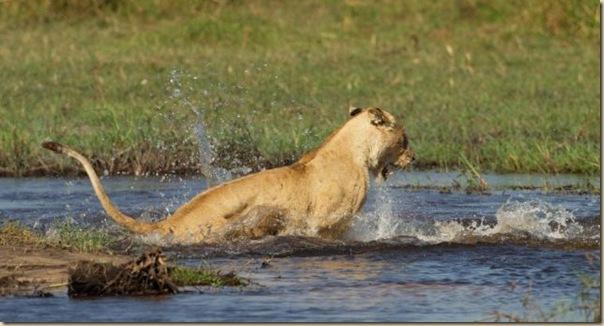 Le courage exeptionnel d'une lionne (6)