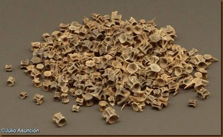 Vértebras de barbo - cueva de Aizpea - Museo de Navarra