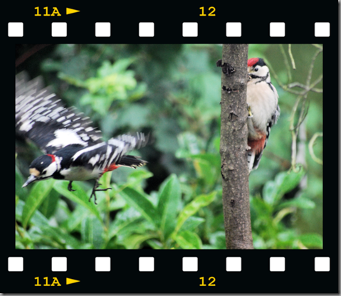 Male woodpecker feeding young 09 film png