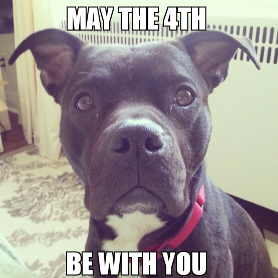 How To Respond To May The 4th Be With You: Yoda The Pit Bull: May The 4th Be With You