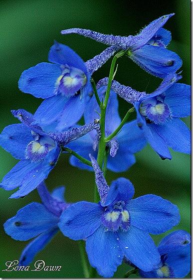 Delphimium_BlueBird