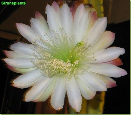 Cereus repandus Sin. C. peruvianus fioritura