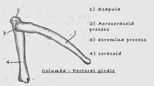 pectoralgirdle-bird