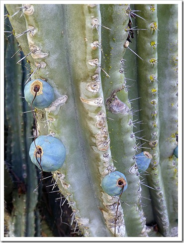 111008_rbg_cereus_fruit