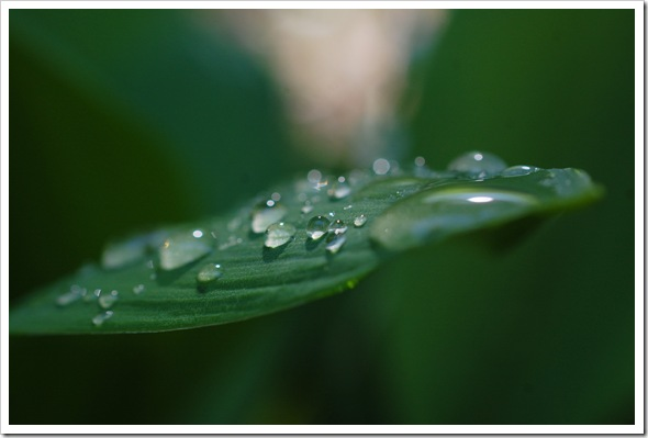 HOSTA RAINDROPS (3)