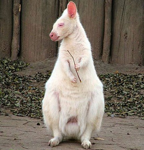albino_kangaroo_1sfw-35 Amazing Albino Animals of the Wild 5