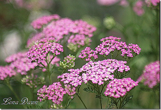 Achillea_Oertels_Rose_June10