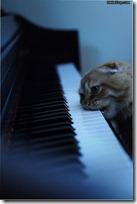 gato pianista blogdeimagenes (10)