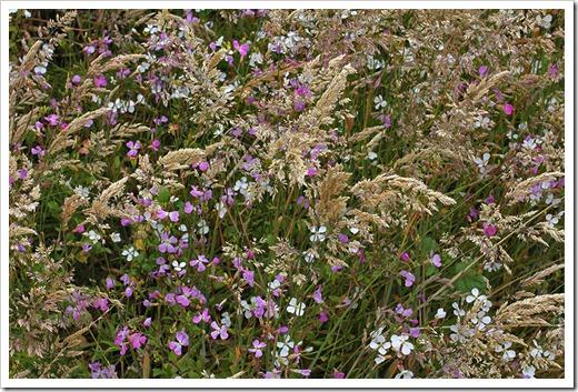 110712_grasses_wild_mustard