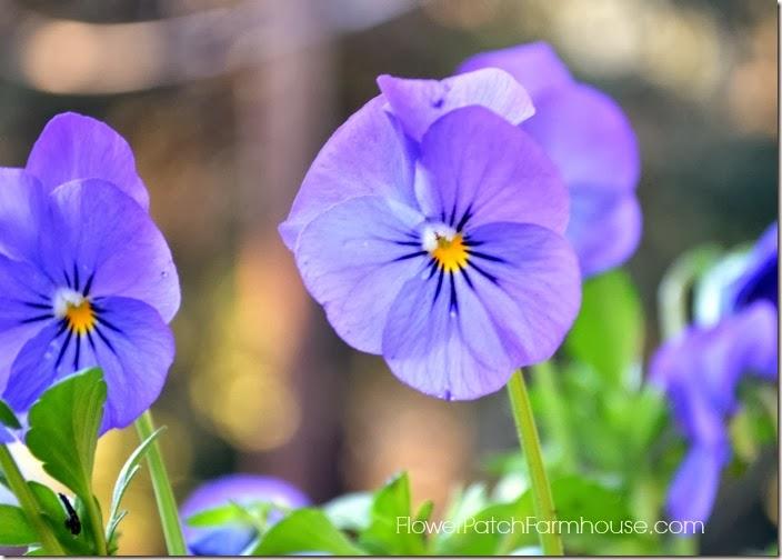 purpleviola700