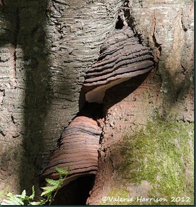 3-bracket-fungi