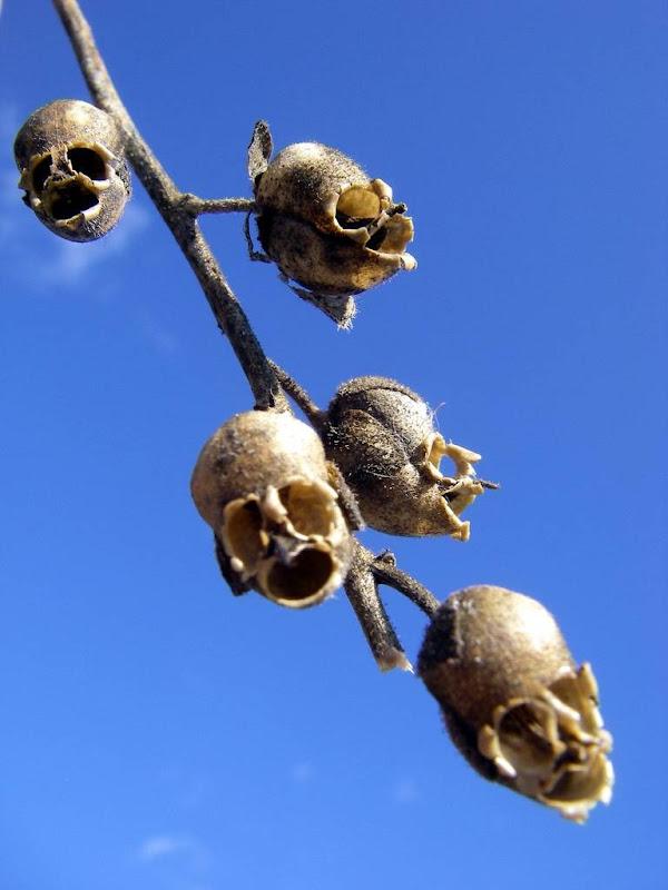A incrível aparência macabra das vagens de snapdragon - www.deubandeira.com.br
