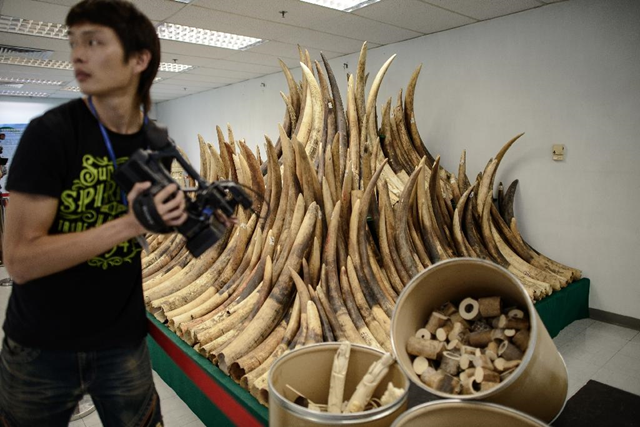 Ivory tusks taken from poached elephants are displayed in a pile. China is the world's largest consumer of illegal ivory, according to conservationists. Photo: Philippe Lopez / AFP Photo