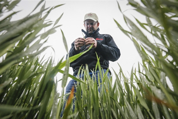 Ben McClure examines a wheat stalk in a Reno County, Kansas, wheat field. Forecasts for 2013 show a smaller crop due to drought and late-spring cold. Photo: Travis Heying / AP