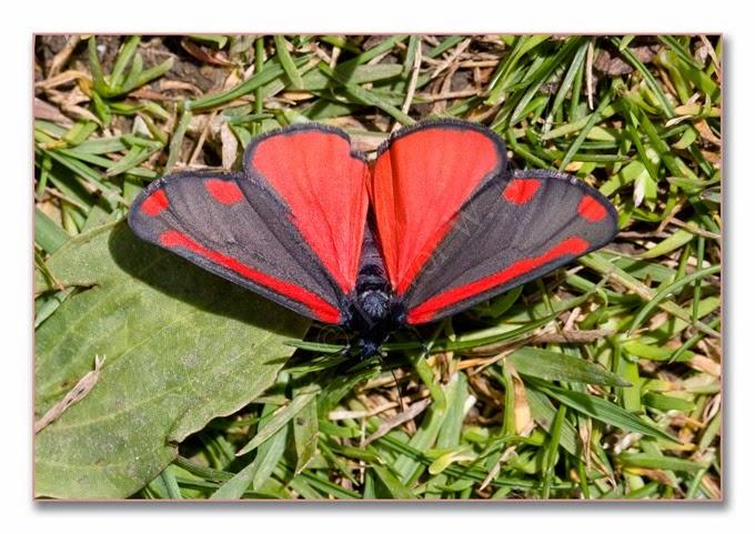 Day Moth 12  Cinnabar