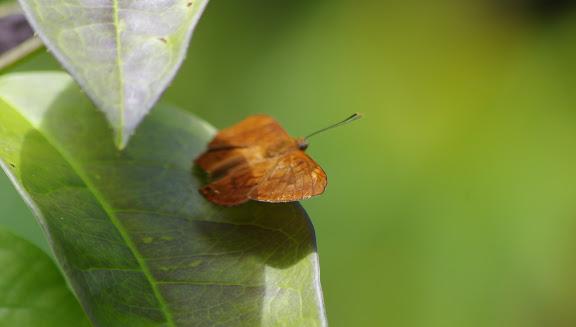 Synargis orestessa HÜBNER, [1819], femelle. Patawa (Montagne de Kaw), 24 octobre 2012. Photo : J.-M. Gayman