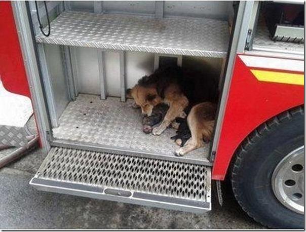 cadela salva filhotes (5)