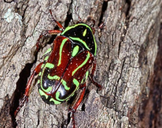 Amazing Pictures of Animals, Photo, Nature, Incredibel, Funny, Zoo, Eupoecila australasiae, fiddler beetle or rose chafer, Insecta, Alex (18)