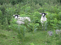 Local sheep in bracken