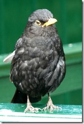 dunvegan blackbird young male