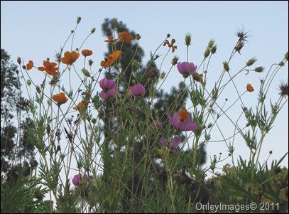 tall wildflowers0825 (3)