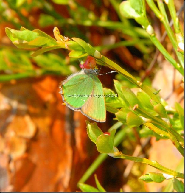 asfaltti työ vt 8 Kangasperhonen (Callophrys rubi) 101