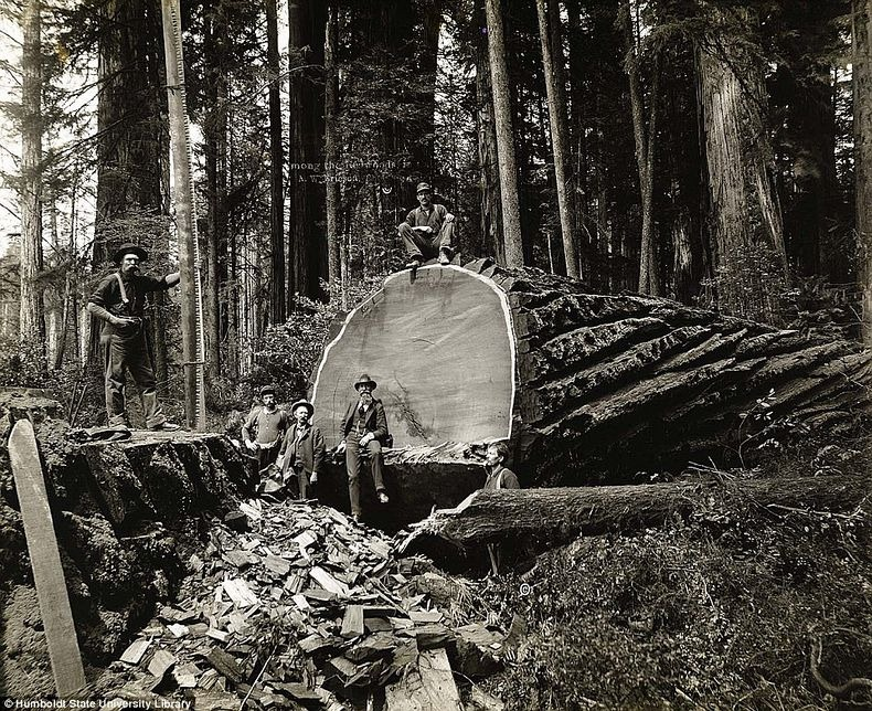 lumberjacks-redwood-7
