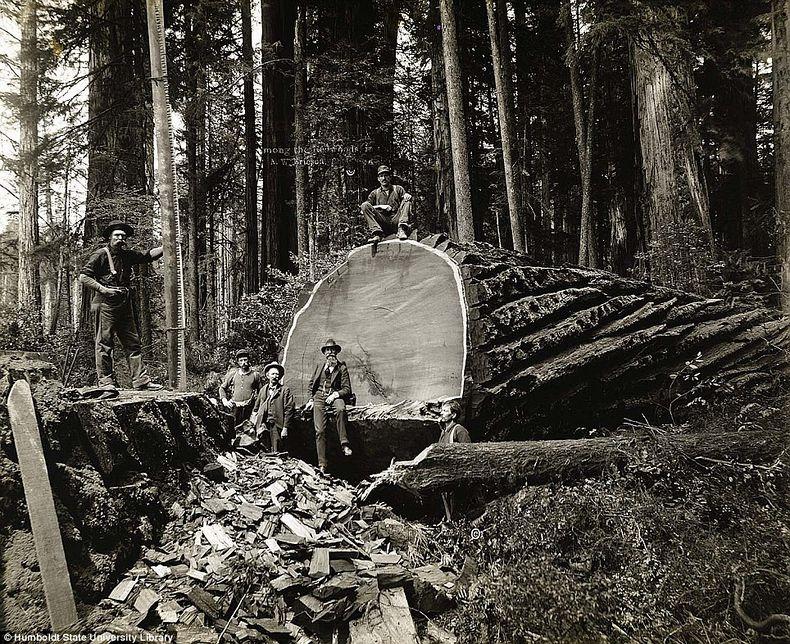 lumberjacks-redwood-7