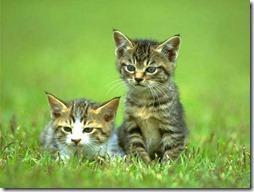 10 -Fotos de gato buscoimagenes (36)
