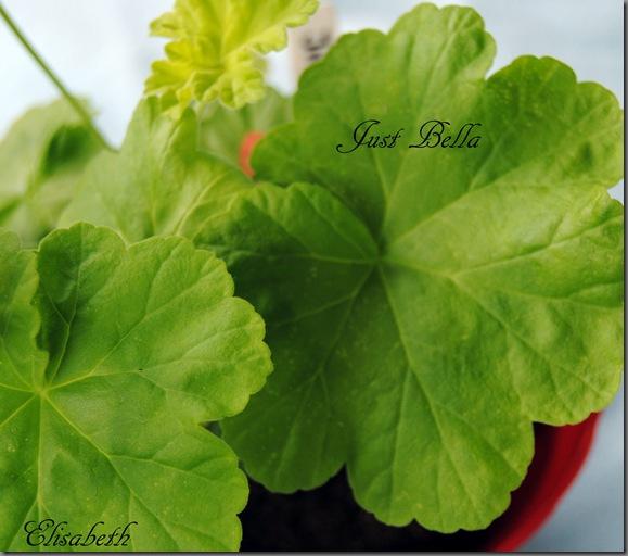 Pelargonium juli -11 052