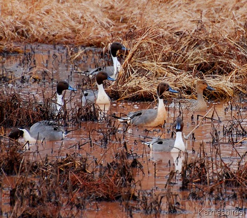3. pintails-kab