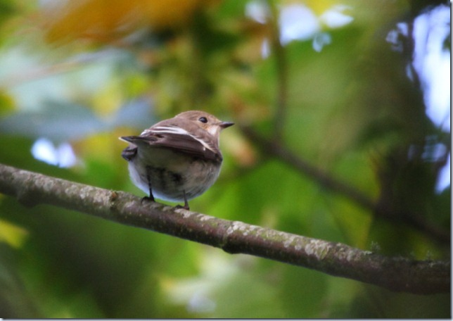 pied_fly