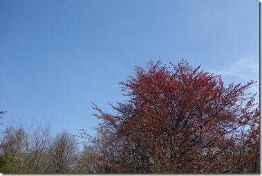 赤い若葉の西洋ブナ銅葉品種