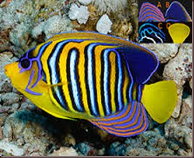 Amazing Pictures of Animals, photo Nature, exotic, funny, incredibel Zoo, Regal angelfish, Alex (6)
