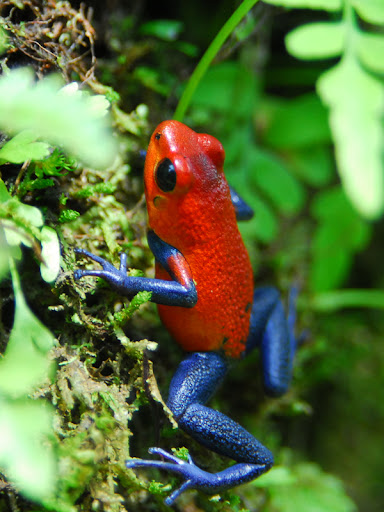 Dartfrog