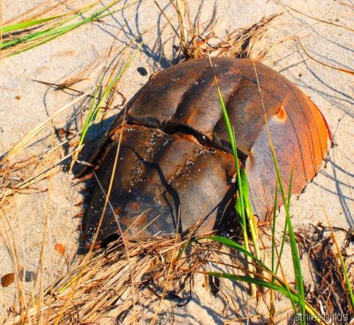 13. horseshoe crab-kab